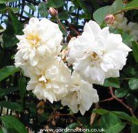 Picture of bennett's Seedling flower