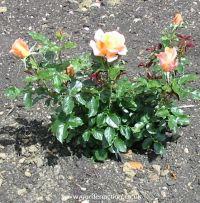 Rose bush Atlantic Star