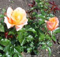 Atlantic Star rose picture