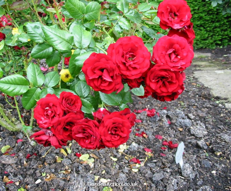 Rose Bush Names