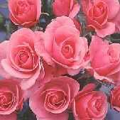 Floribunda Rose variety 'Jack Wood'