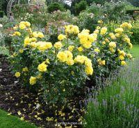 Rose rosa Korresia
