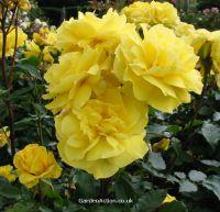 Floribunda rose 'Korresia', click picture to enlarge