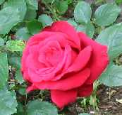 Alec's Red rose picture