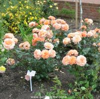 Rick Stein Hybrid Tea rose , picture of the rose bush