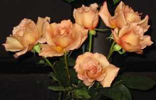Hybrid Tea rose variety 'Julia's Rose'