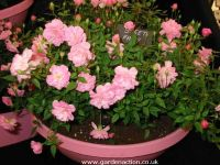 Sweet Fairy Patio Rose picture