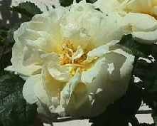 Picture of Old White Rose Agnes