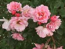 Picture of Old Garden Rose Felicia