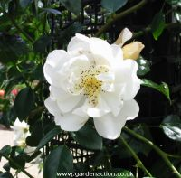 City of York rambling rose, flower picture