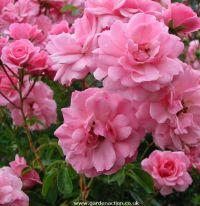 Bonica Shrub rose