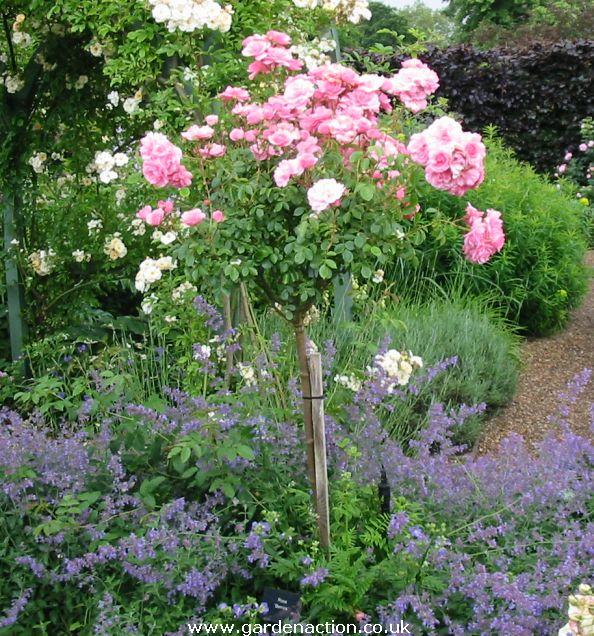 Standard roses on pinterest rose trees roses and shrubs for Garden rose trees