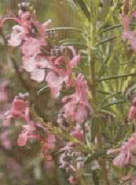 picture of rosemary, herb