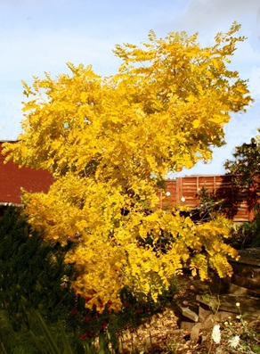 Gardenaction Robinia Tree