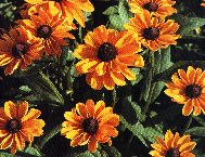 picture of Rudbeckia Hirta Marmalade