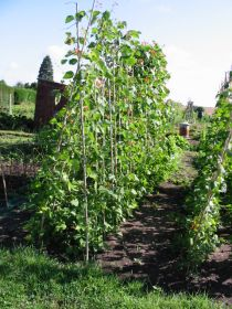 Runner beans cane supports