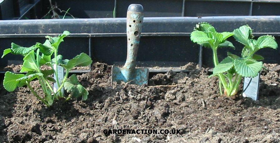 Подготовка почвы под посадку клубники