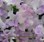 Sweet Pea Lilac Ripple. Click picture to enlarge.