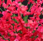 Sweet Pea variety Marti Caine. Click picture to enlarge.