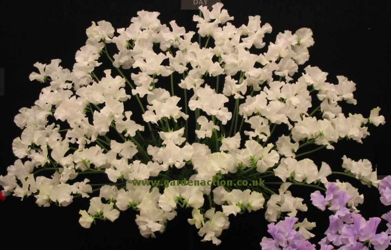Sweet Peas (Lathyrus) - cultivation and pictures from ...