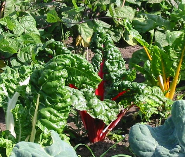 If you are only growing one variety of Swiss Chard then we thoroughly ...