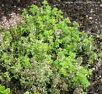 Picture of variegated thyme