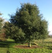 Picture of the tree Coast Live Oak (quercus agrifolia oxydenia)