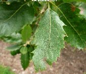 Mature leaf of quercus brantii