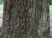 Bark and trunk of quercus canariensis (Mirbeck's Oak)