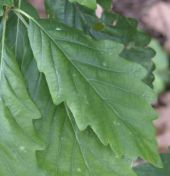 Leaf of Mirbeck's Oak (quercus canariensis)