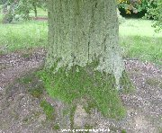 Trunk of Turkey Oak (quercus cerris)