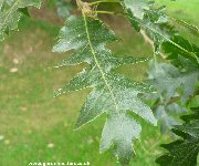 Leaf of the Turkey Oak (quercus cerris)