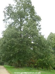 Picture of the Turkey Oak tree (quercus cerris)