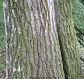 Bark and trunk of quercus coccinea (Scarlet Oak)