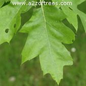 Leaf of the Scarlet Oak