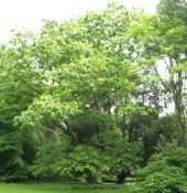 Picture of the tree quercus coccinea (Scarlet Oak)