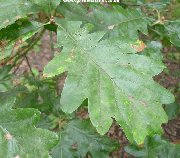 Leaf of the Hungarian Oak, quercus frainetto