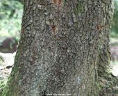 Picture of the trunk and bark of quercus iles (Holm Oak)