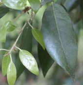 The leaf of a Holm Oak (quercus ilex)