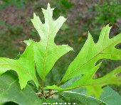 Immature leaves of quercus nuttalli - Nuttall Oak
