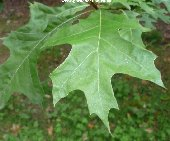 Leaf of the Nuttall Oak (quercus nuttallii)