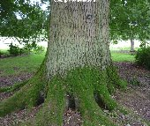 Trunk of the Sessile Oak (quercus petraea)