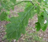 The leaf of the Sessile Oak, quercus petraea