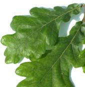 The leaf of the Pyrenean Oak (quercus pyrenaica)