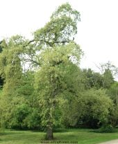Picture of the tree quercus pyrenaica (Pyrenean Oak)