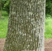The bark and trunk of quercus robur