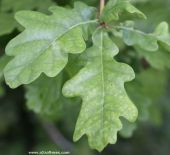 The leaf of quercus robur