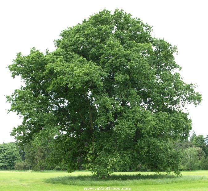 A oak tree.