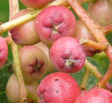 Rowan tree berry you will often see a five pointed star on the skin