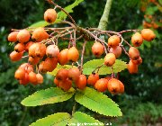 Berries of sorbus esserteauana
